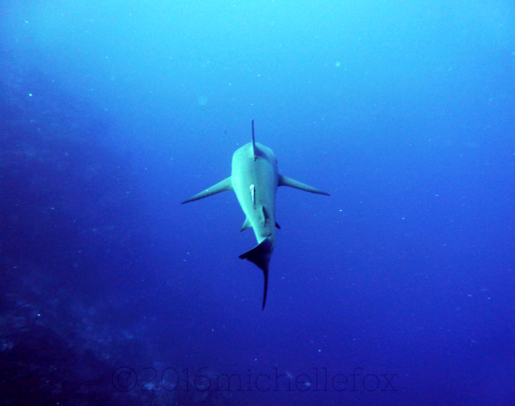 shark-2-copy
